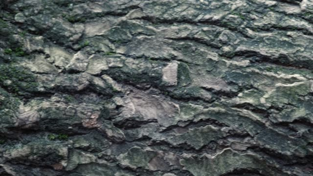 The texture of the bark of old chestnut tree CloseUp. deep cracks can be seen on the bark.