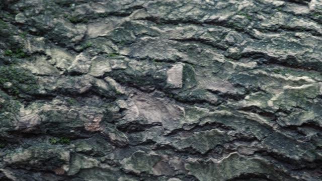 stockvideo's en b-roll-footage met de textuur van de schors van oude kastanjeboom closeup. diepe scheuren kunnen worden gezien op de schors. - schors