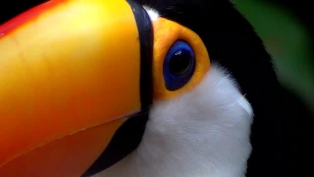 the toco toucan (ramphastos toco), also known as the common toucan, giant toucan or simply toucan. - ekoturystyka filmów i materiałów b-roll