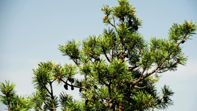 toppen av pine tree 4k fs700 odyssey 7q - fur bildbanksvideor och videomaterial från bakom kulisserna