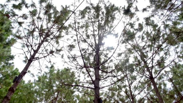 vidéos et rushes de la forêt de pins du haut le matin - vue partielle