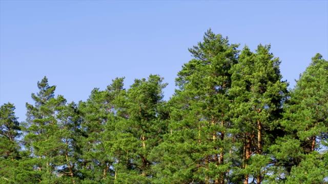 vídeos de stock e filmes b-roll de a parte de cima dos pines são oscilar de ventos fortes. - oscilar