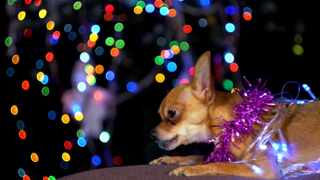 the toy terrier is a yellow new year's dog. - terrier video stock e b–roll
