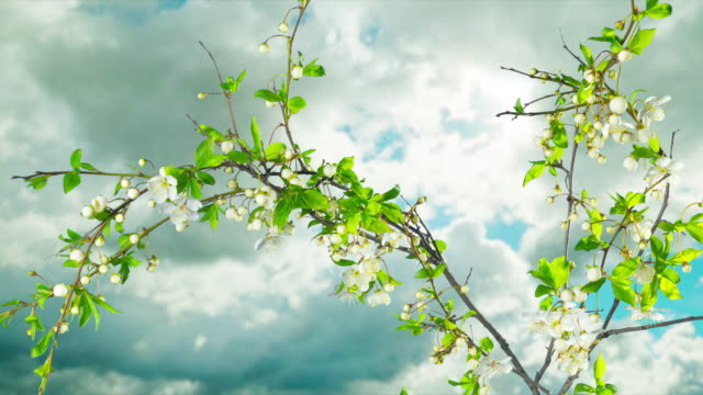 the tree blooms and fades,  time-lapse - summer background стоковые видео и кадры b-roll