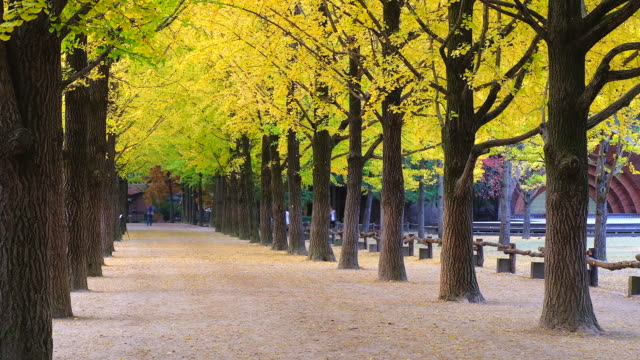 The tree tunnel in autumn where is the romantic walkway for a couple to walk through the tunnel, South Korea or Republic of Korea The tree tunnel in autumn where is the romantic walkway for a couple to walk through the tunnel, South Korea or Republic of Korea ginkgo tree stock videos & royalty-free footage