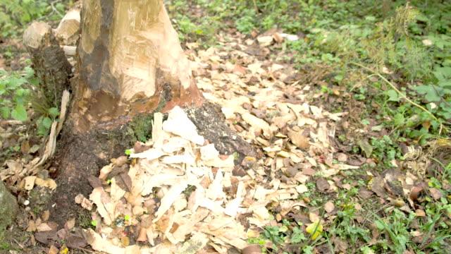 Le tronc d'arbre se mange par le beaver FS700 4 k - Vidéo