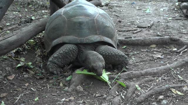 The turtle eats green leaves. The turtle eats green leaves. tortoise shell stock videos & royalty-free footage