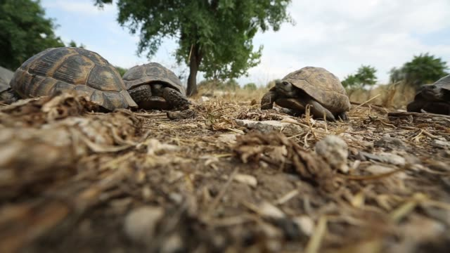 The turtles wanders in Aydin's rural. Aydin/Turkey 11/05/2015