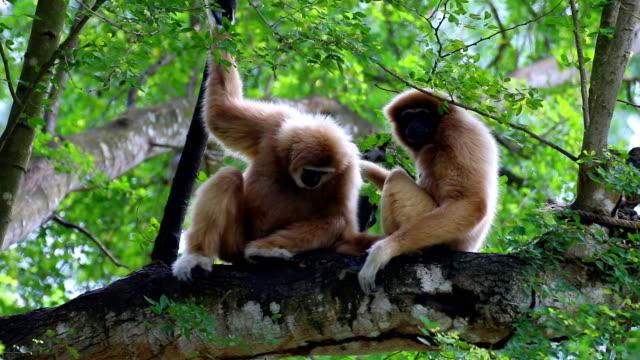 i due gibboni dalle mani bianche che si rilassano sul legno. - gibbone video stock e b–roll