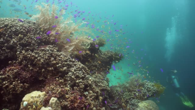 The underwater world of a coral reef Beautiful underwater landscape with tropical fishes and corals. Life coral reef. Camiguin, Philippines. hard coral stock videos & royalty-free footage