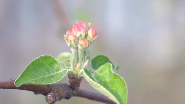 The unopened Bud of apple blossoms closeup video