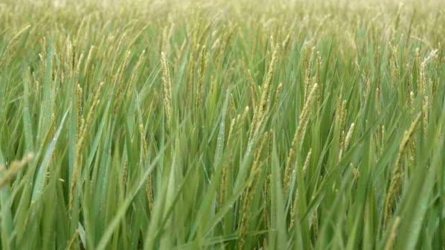 雨の降る田んぼ (草原) の表示 - 水田点の映像素材/bロール