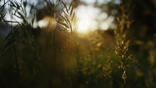 the viewer (pov) moves through the tall flower field at sunset revealing the beauty in nature. shot on the red dragon 6k in slow motion. - grass stock videos & royalty-free footage