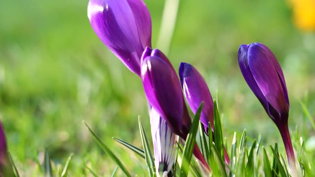 vidéos et rushes de les bourgeons de crocus violet agités dans le vent, au ralenti - crocus