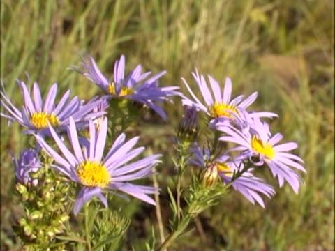 il viola flowerses. - parte della pianta video stock e b–roll