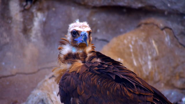 The vulture sits on a hillside, cleans own feathers and watching around video