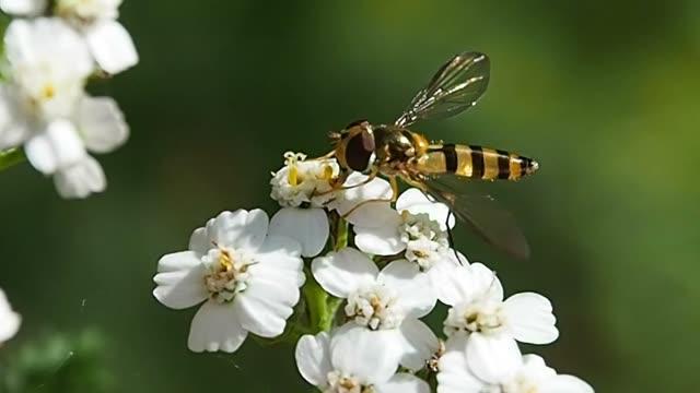die wespe sammelt nektar auf blumen. - hornisse stock-videos und b-roll-filmmaterial