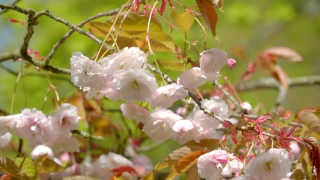 den vinkande grenen av trädet blossom - keukenhof bildbanksvideor och videomaterial från bakom kulisserna