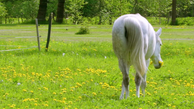 the waving tail of the white horse in the farm - cavalla video stock e b–roll