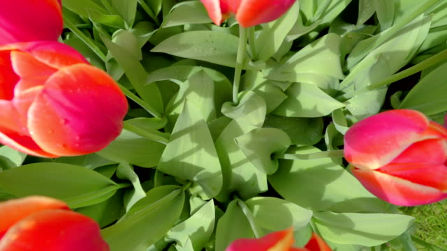 ピンクのチューリップの濡れた緑を葉します。 - キューケンホフ公園点の映像素材/bロール