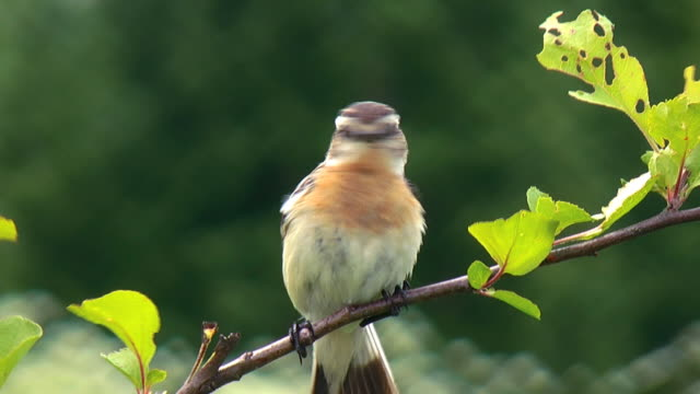 The Whinchat (Saxicola rubetra) video