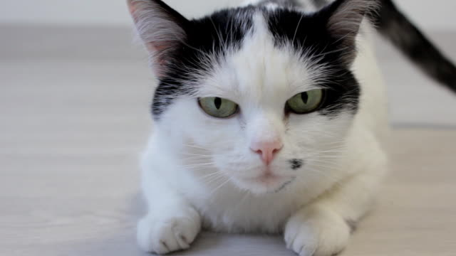 The white domestic cat looks over with his hind legs and looks into the camera, close-up