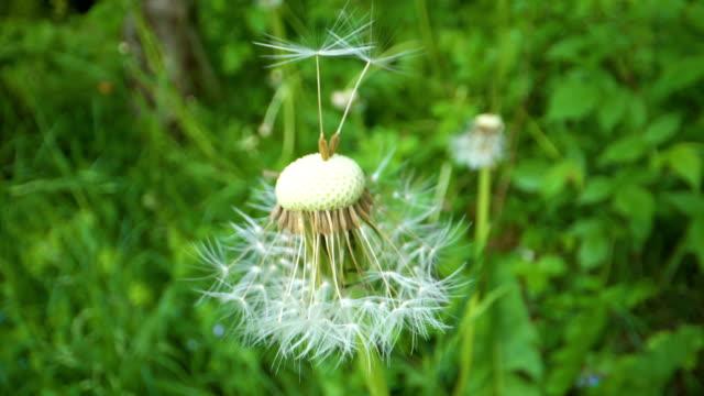 森の中の白い羽のタンポポ植物 ビデオ