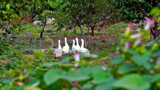 The white goose in the orchard video. video