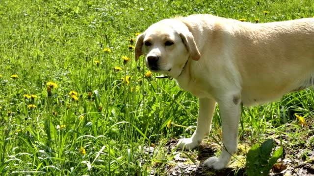 The white Labrador dog eating the dandelion stalks