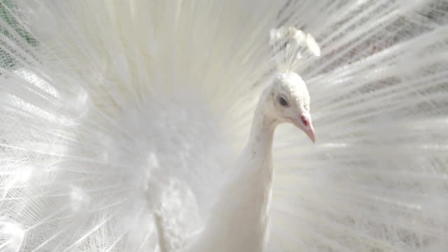 the white peacock shakes his open tail - peacock стоковые видео и кадры b-roll