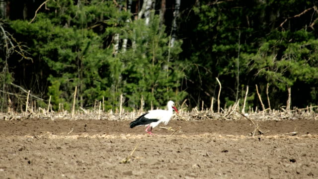 the white stork, a large wading bird on the verge of extinction, is one of the symbols of belarus. listed in the red book - ornitologia video stock e b–roll