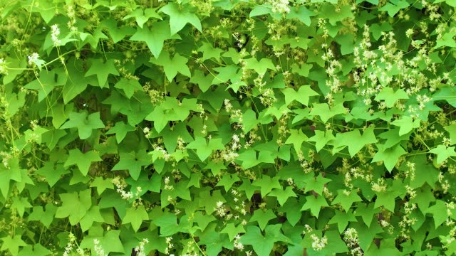 전체 스크린은 녹색 잎으로 가득 - 아이비 스톡 비디오 및 b-롤 화면