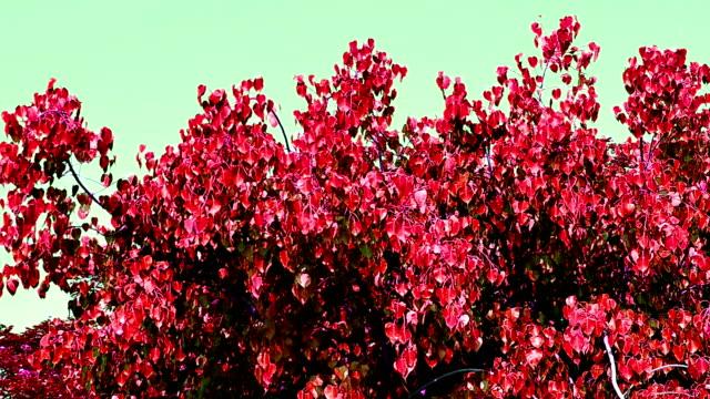 il vento spinse rosso pho sull'albero - cespuglio tropicale video stock e b–roll