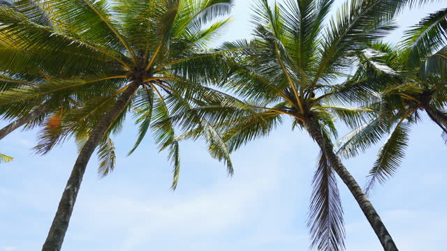 vidéos et rushes de le vent soufflait se balançant feuilles de noix de coco et le ciel bleu, pas de gens. - arbre tropical