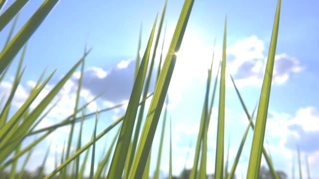 der wind weht aus dem rasen bei sonnenuntergang. - schilf stock-videos und b-roll-filmmaterial