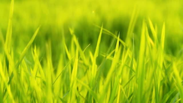 vídeos y material grabado en eventos de stock de el viento sopla la hoja de arroz verde en el campo - sudeste