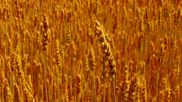 the wind rustles in ears of field of ripe golden wheat - orecchio umano video stock e b–roll