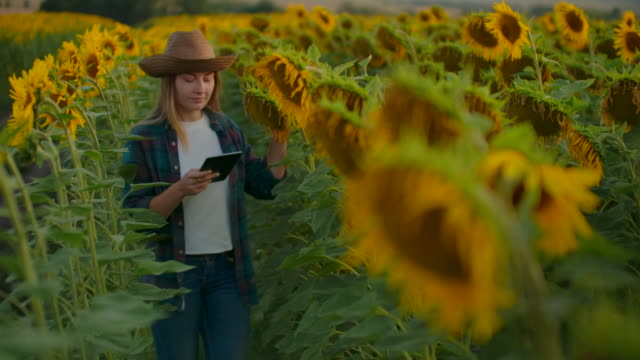 The woman between high sunflowers in summer evening