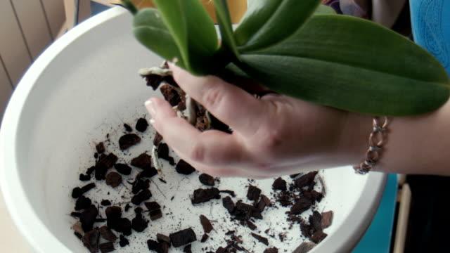 vídeos y material grabado en eventos de stock de la mujer con una orquídea flor un trasplante - tiesto