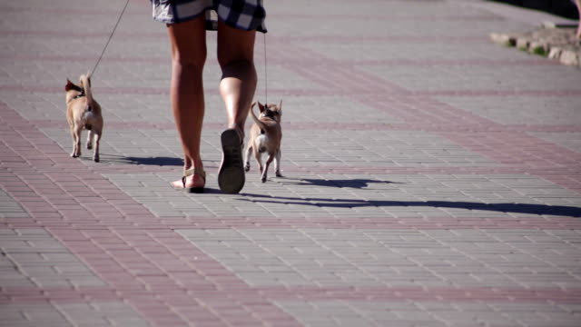The woman walks two small dogs video