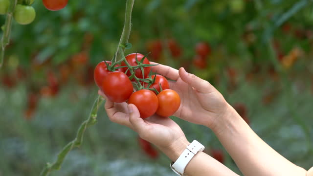 The workers are collecting tomatoes video