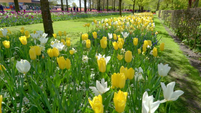 The yellow and white tulips in the side of the trees video