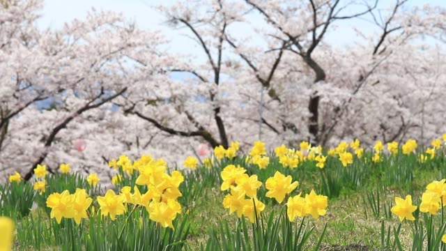 The yellow flowers of daffodils blooming with sakura and cherry blossom tree background.Beautiful landscape nature spring season in japan.