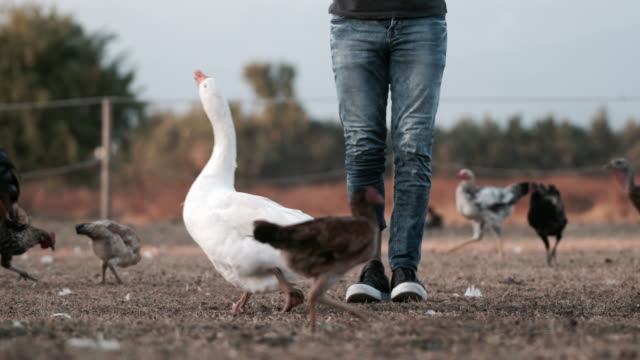 The young man feeds the animals in the farm video