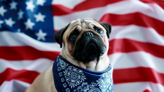 the young pug with american flag - independence day stock videos & royalty-free footage