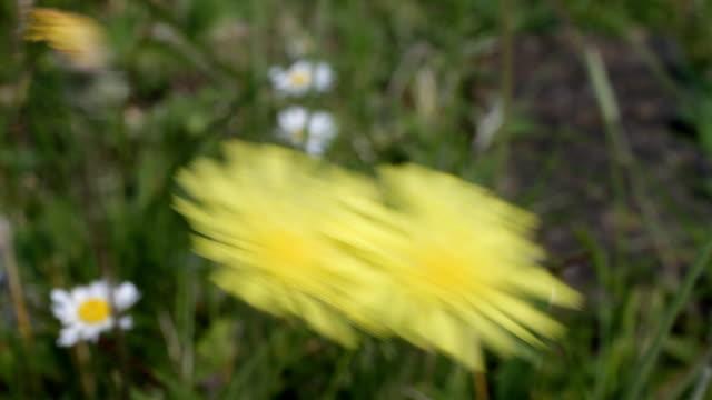 Mouse-ear hawkweed yellow flowers HD video video