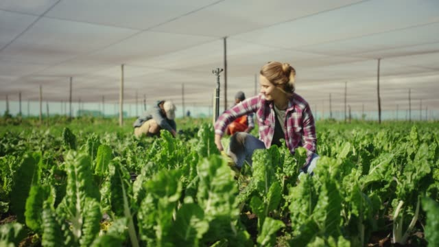 They grow their own 4k video footage of an attractive young woman working in a greenhouse on the farm with her colleagues in the background harvesting stock videos & royalty-free footage