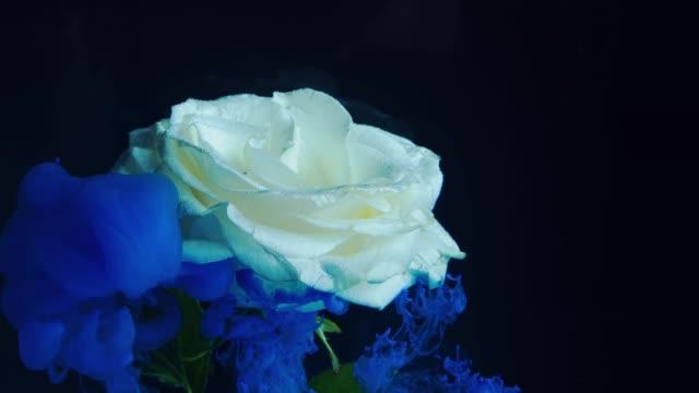 tjock blå rök och vit ros. - white roses bildbanksvideor och videomaterial från bakom kulisserna