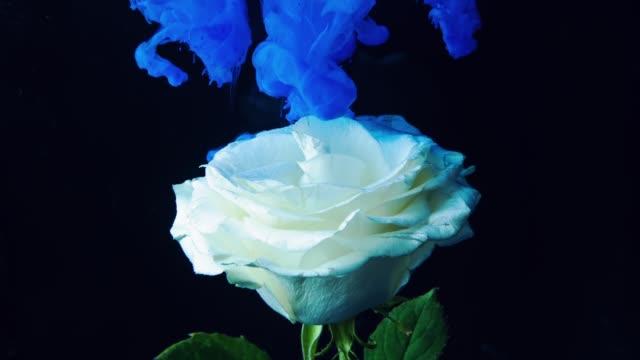tjock blå rök stiger och omsluter kronblad av en vit ros. - white roses bildbanksvideor och videomaterial från bakom kulisserna