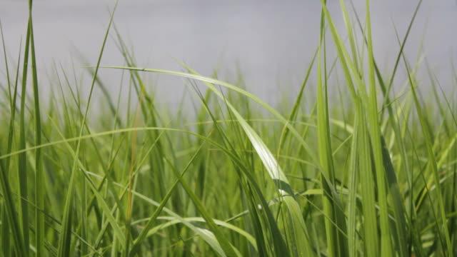 Thick Green Grass Near Water video